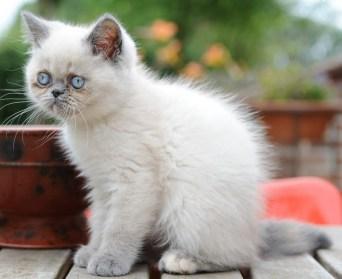 kittens Morticia x Pedro (3)