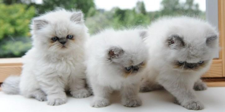 kittens shanty x Pedro 1