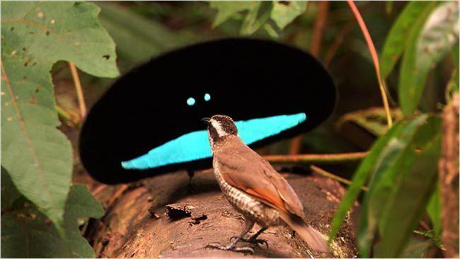 tropical-bird-mating-call