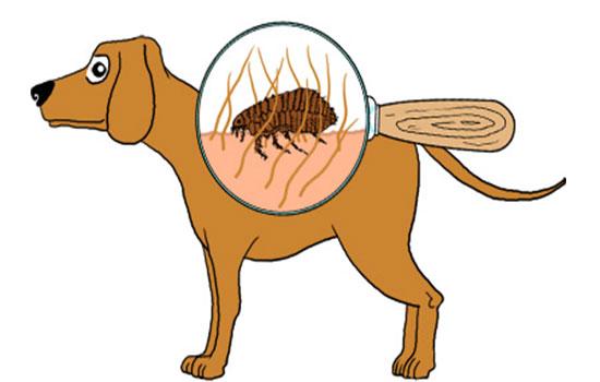 Remédio caseiro para eliminar pulgas e carrapatos