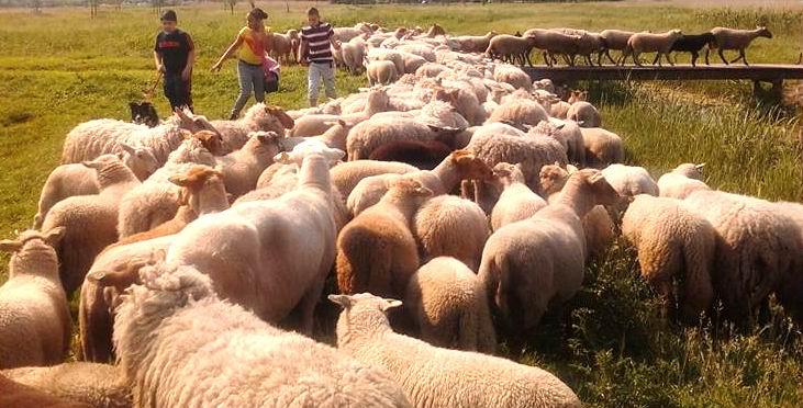 De-schapen