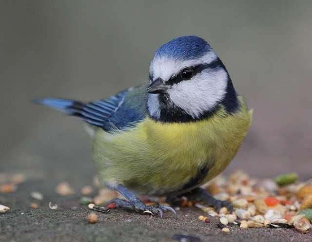 Eine Blaumeise am Vogelfutterhaus