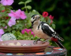 Was frisst der Buntspecht im Garten?