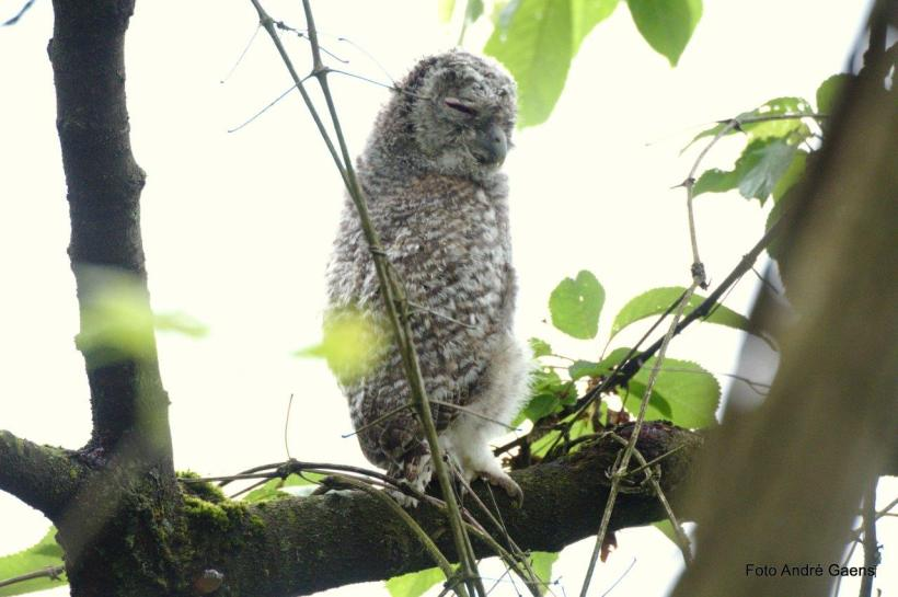 Bosuil Strix aluco en torenvalk Falco tinnunculus in dezelfde nestboom