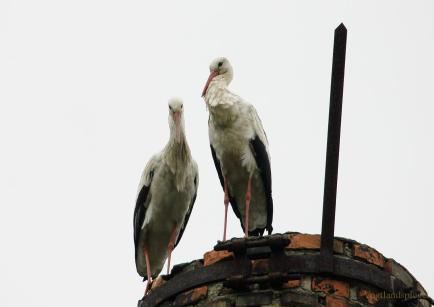 Störche in Greiz gesichtet