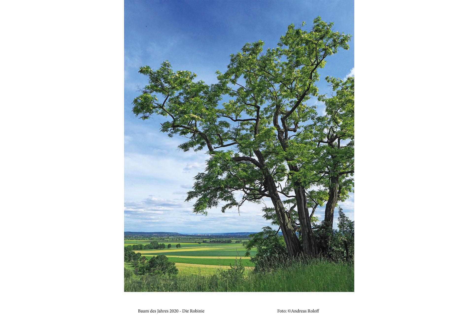 Die Robinie ist Baum des Jahres 2020