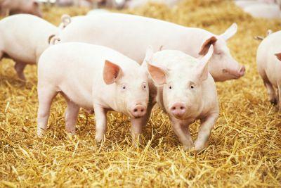 Junge Schweine