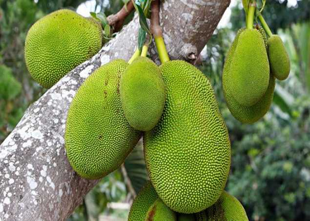 jackfruit-nutrition-facts-and-health-benefits-in-hindi