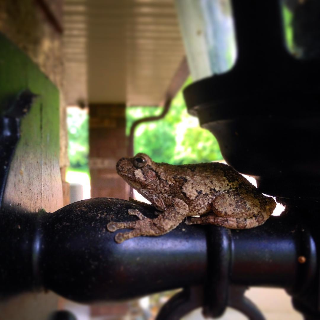 I was talking to @throneroomlush on the porch and this little guy caught my eye... just chillin up on the outside lanterns. #treefrog #treefrogsofinstagram #voiceministriescamp #voiceministries