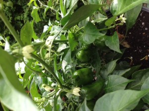 pepper plant with a half dozen small peppers and lots of flowers