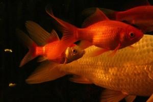 close-up of red koi fish swimming