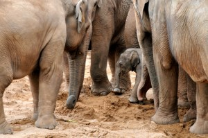 three adult elephants surround a new baby in a protective circle