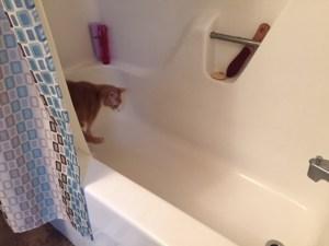 Spice walking around the bathtub after my shower