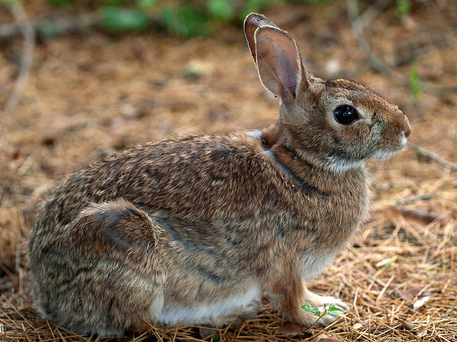 side view of a brown rabbit sitting on grass