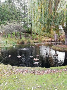 the view of a pond teeming with ducks, and in the background, a willow tree and other lush greenery
