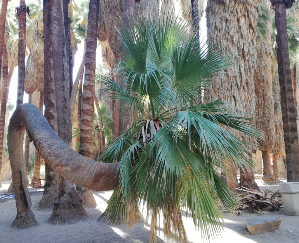 A palm tree has grown about four feet straight up and then another six feet parallel to the ground before going up again.