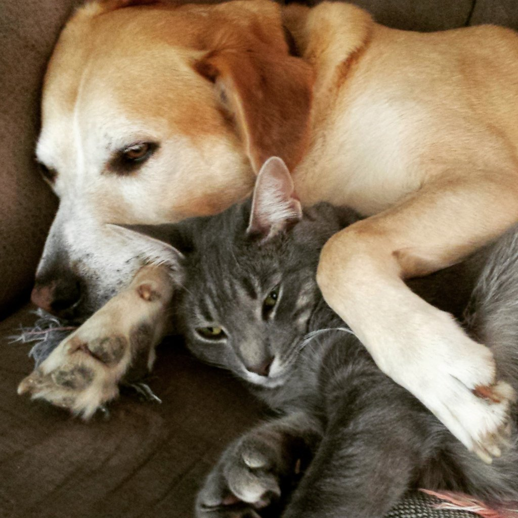 A golden lab lying on a couch with his paws gently surrounding a grey cat that looks comfortable and content.