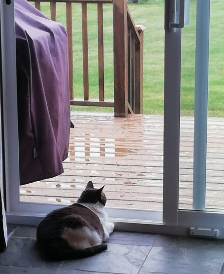 Miss Sugar lying in front of the open door (screen is closed) looking out at the wet deck and grass.