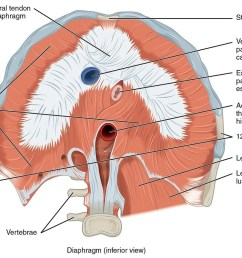 engaging the diaphragm represents an involuntary muscular activity though the diaphragm itself is made up of voluntary muscle fibers  [ 1094 x 800 Pixel ]