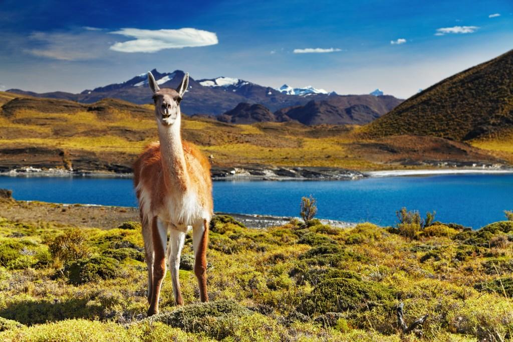 Alpaca, Torres del Paine National Park, Chile