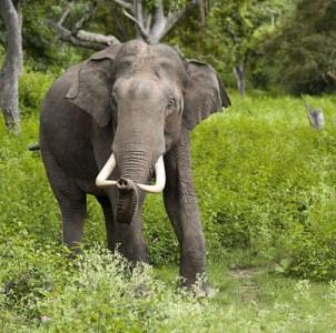 Chitwan National Park - Elephant