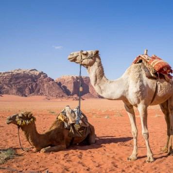 Camels, Wadi Rum