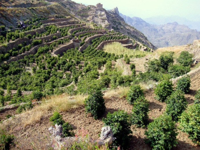 Coffee bushes in the Yemeni mountains of  Harazi (http://www.roastmasters.com/yemen.html)