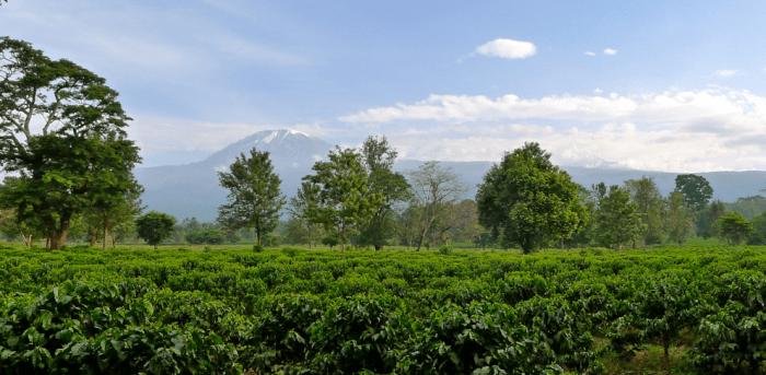 Coffee growing on Kilimanjaro