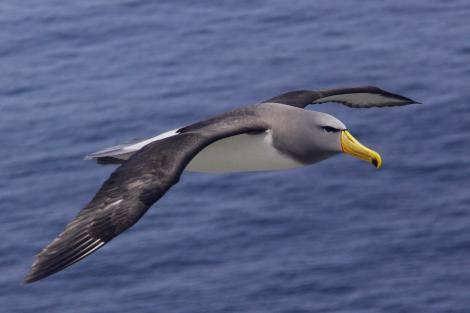 The Chatman albatross