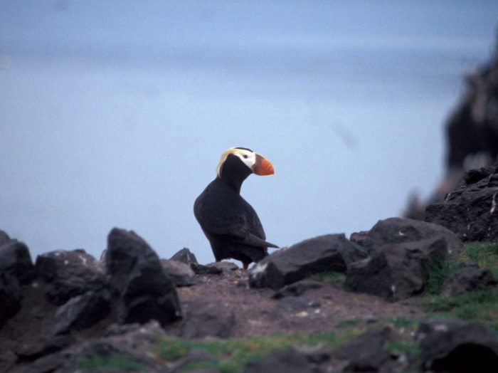 Tufted Puffin on Bogoslof Island. Click for full resolution.