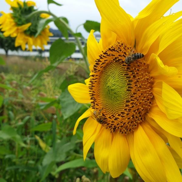 Bienenwiese Blumeninfo 7
