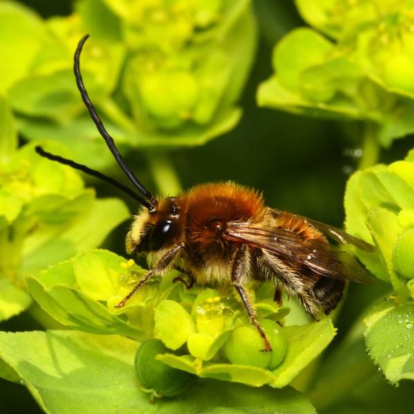 Die häufigsten Wildbienen-Arten Vorarlbergs 3