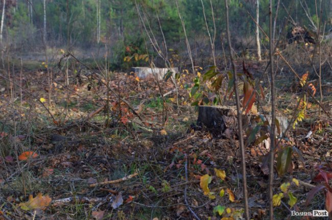 Перевірити законність рубки тепер може кожен: як працює пілотний проект «Ліс у смартфоні» на Волині. ФОТО