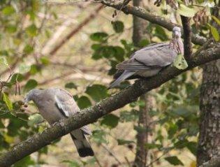 Пара лісових голубів позувала для волинського фотографа