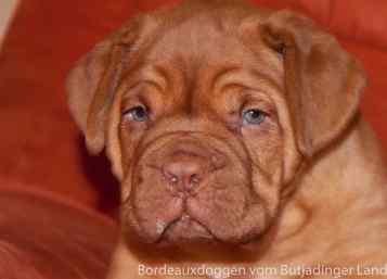 S Wurf Bordeauxdoggen vom Butjadinger Land 25