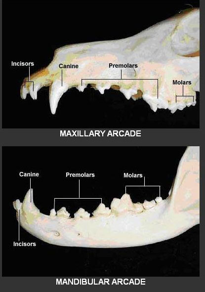 Image result for dog jaw teeth