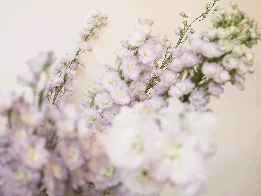 VONsociety: Closeup Rittersporn, Hybridsorte, Blütenlanzen mit weißen und fliederfarbenen Blüten