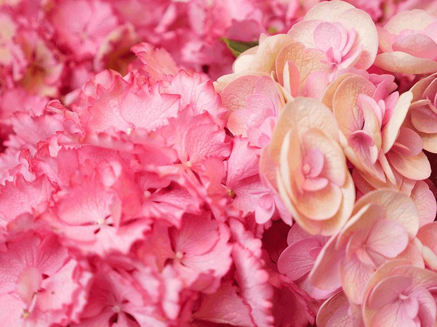 VONsociety: Die Hortensie, Closeup von rosa Hortensienblüten
