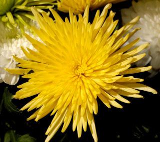 Sunny-chrysant