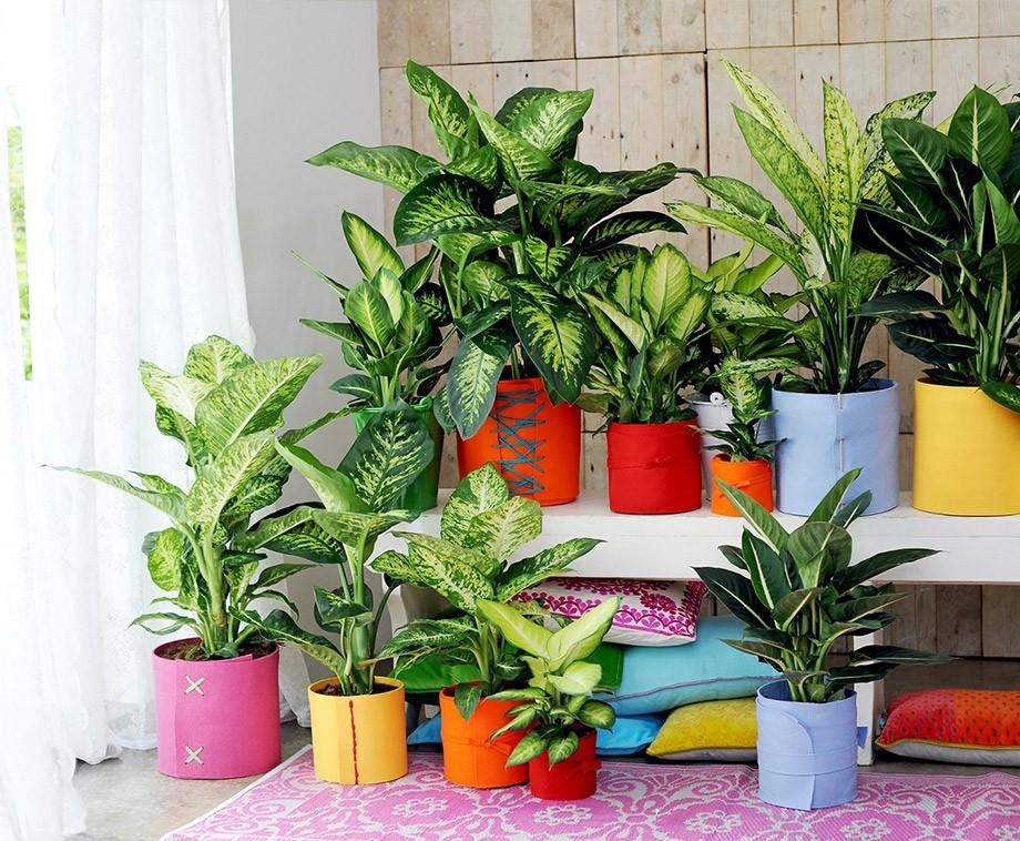 Tropische Set Van 3 Of 6 Dieffenbachias  Prachtige Grote