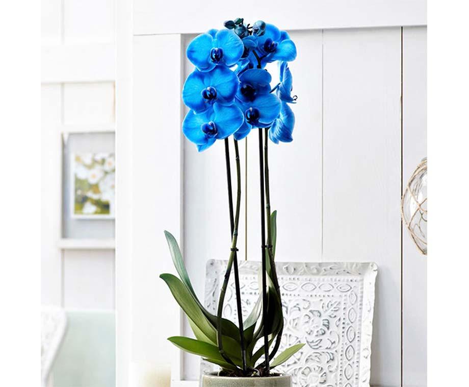 Bijzondere Gekleurde Orchidee  Verkrijgbaar In 4 Kleuren