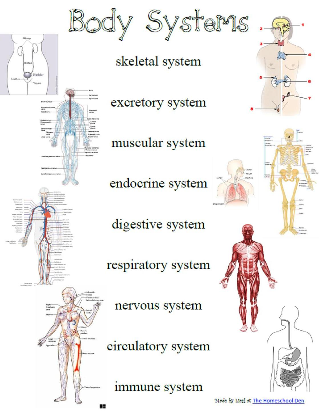 Human Body Organ Systems For Kids