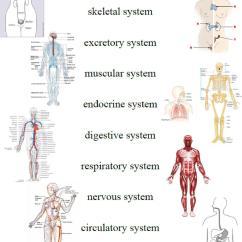Kids Skeletal System Diagram Simple Wiring Of A Car Laurella J Comparative Anatomy