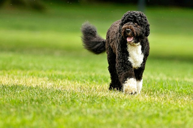 Raças de cães portugueses