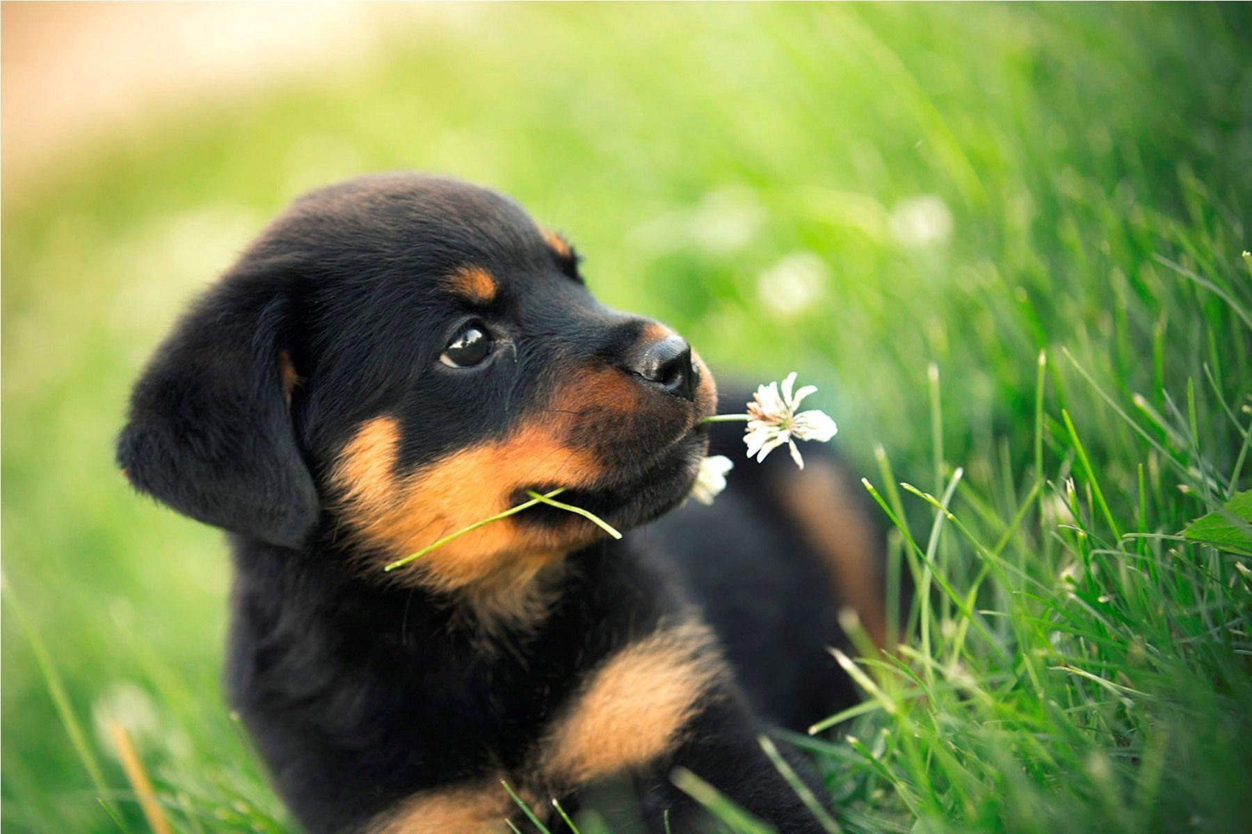 12 Reasons Why Rottweilers Are The Best Dogs Vortexmag