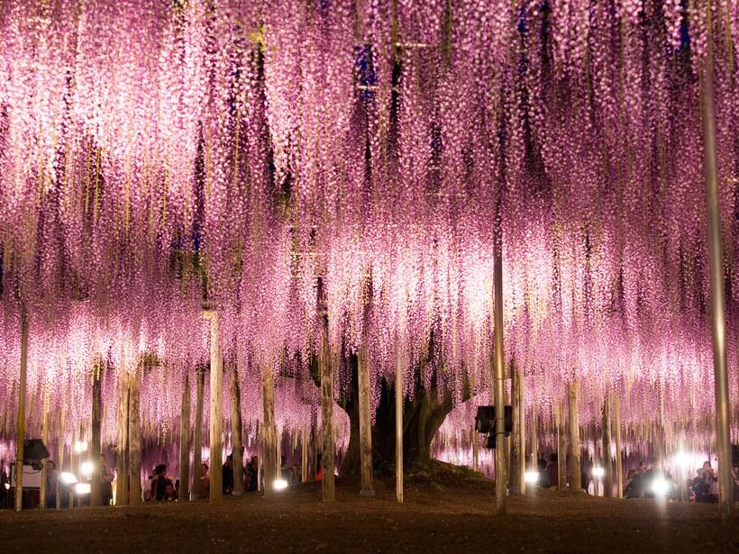 Ashikaga Flower Park: Ashikaga, Japão