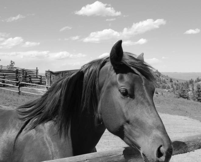 Image of Wyatt the rocky mountain horse.