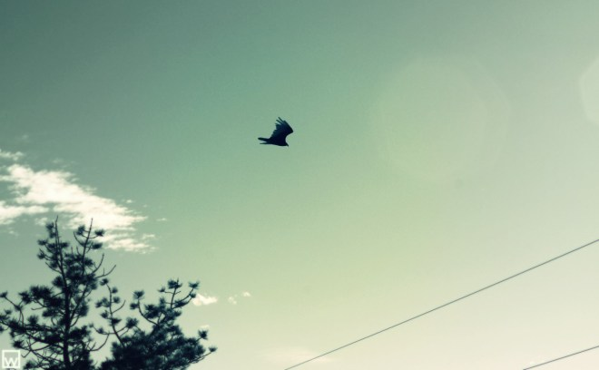 Image of a Turkey Vulture over the Colorado Rockies