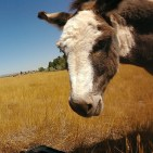 Image of a miniature donkey in a field