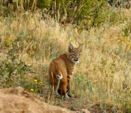 Image of a bobcat on a hill.